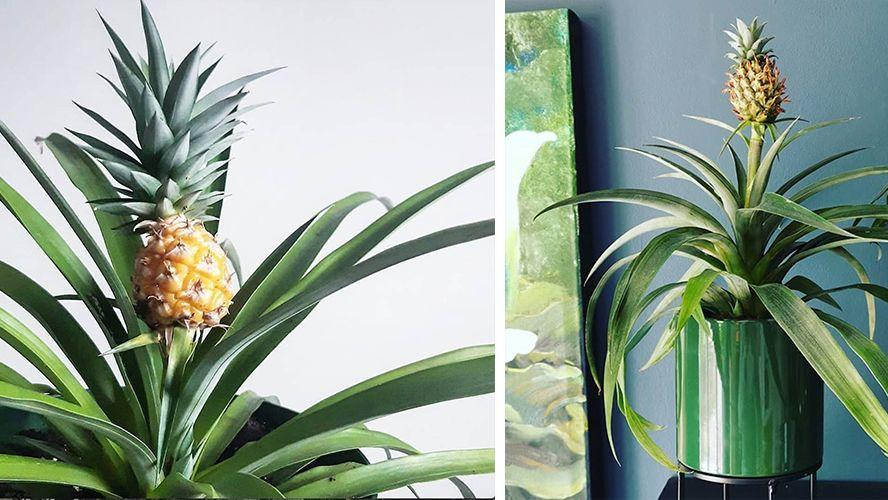 tropical home decor items home depot is selling a pineapple plant to bring the tropical vibe  home depot is selling a pineapple plant