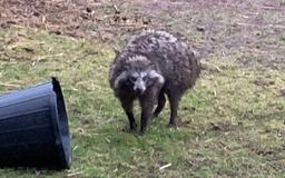 Raccoon dogs: What are they, where are they from?