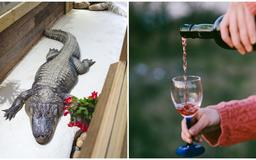 An 11-Foot Alligator Broke Into A Florida Home And Went Straight For The Owner's Wine