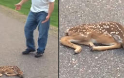 Man Approaches Collapsed Fawn In Road But Has No Idea Mom Is Watching His Every Move