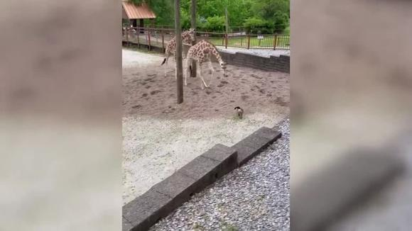 Caught on camera: Goose playing with giraffes at Mesker Park Zoo