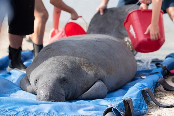 Recovered from near death, manatee is released from Jacksonville Zoo into St. Augustine waters