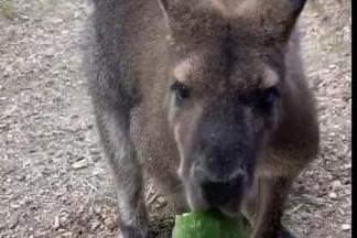 Wallaby Returns Home After A Day On The Loose In Tennessee News Break