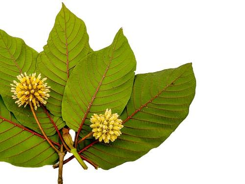 CDC Report on Kratom Overdoses Paints Confusing Picture of Drug's Risks | News Break