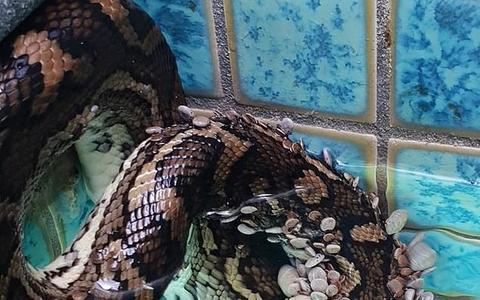 Image result for Python Rescued From A Pool After It Was Covered In Over 500 Ticks