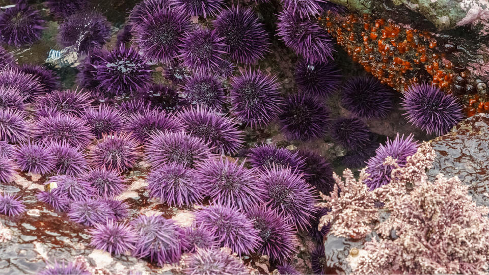 Picture for Eat Sea Urchin, Help Save the Pacific Coast!