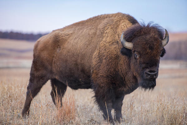 Picture for Polis Pushes for Grand Canyon Bison to be Sent to Colorado
