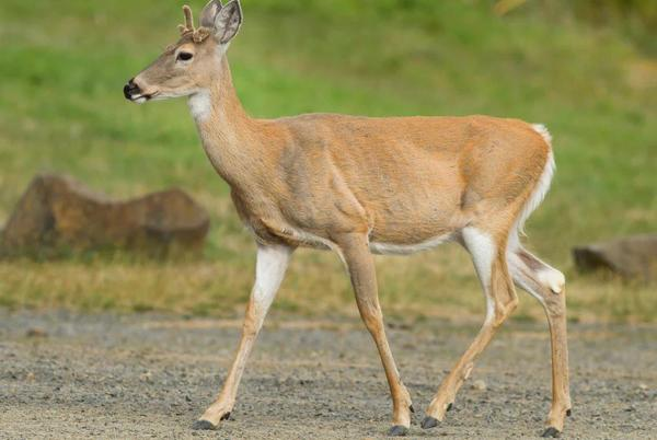 Picture for Search on for those who shot, beheaded deer in Radford