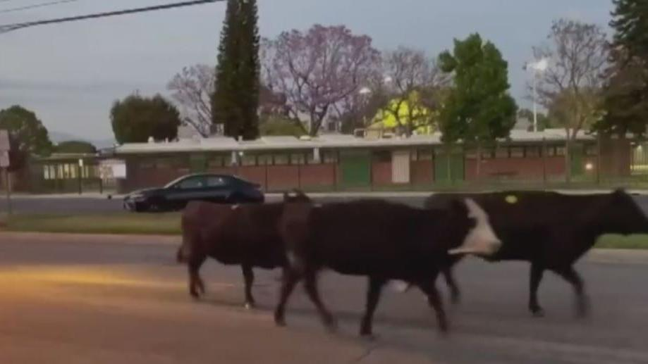 Picture for 40 Cows Escape Meatpacking Plant In Pico Rivera; One Killed By Deputies After Charging Family