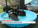 Picture for Pair of black swans spotted in Southold rescued