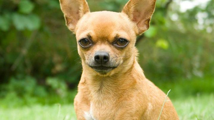 Cover for Stowaway: Texas couple finds pet Chihuahua hiding inside luggage at airport