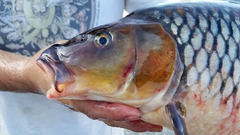 Cover for State investigating common carp deaths in Michigan lake