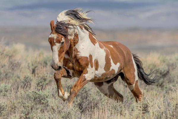 Picture for Northwest Colorado wild horse roundup ends with 70% of the herd removed