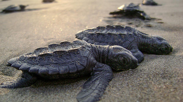 Picture for Mississippi Aquarium plans to release rescued sea turtles, some still sick from frigid waters last fall