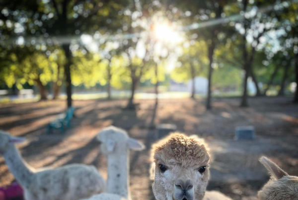 Picture for This lesser- known beautiful Alpaca farm in Dallas metro gives private tours of the farm, fiber processing and more