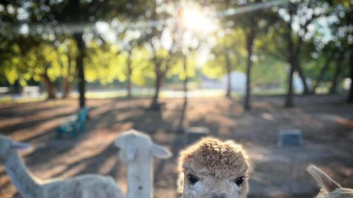 Cover for This lesser- known beautiful Alpaca farm in Dallas metro gives private tours of the farm, fiber processing and more