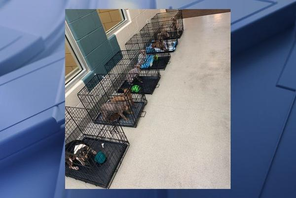 Picture for 111 dogs rescued from Mesquite home