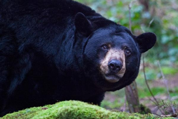 Picture for California snacking 'Safeway Bear' shot and killed