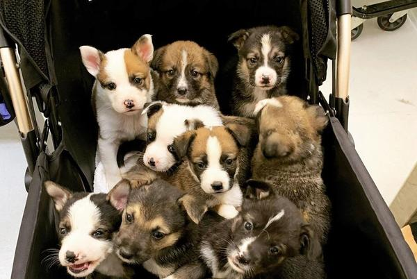 Picture for Weekend Wind-Down: Here's a Stroller Full of Puppies From the SF SPCA for All Your Serotonin Needs