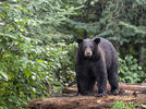 Picture for Wareham DNR Reports 'Boo Boo' the Black Bear Is in Town