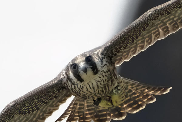Picture for See and Photograph Hawks Soaring Over Montclair