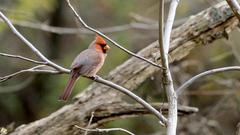 Cover for Indiana counties report dying songbirds, DNR investigating