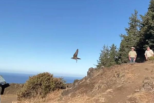 Picture for Baby peregrine falcon, found emaciated at Oregon coast, helped by man, drone, to fly strong and free
