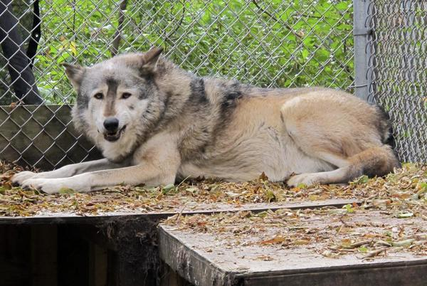 Picture for 6 tribes sue Wisconsin to try to stop November wolf hunt