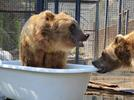 Picture for Tubthumping: Bears stay cool at BC Wildlife Park