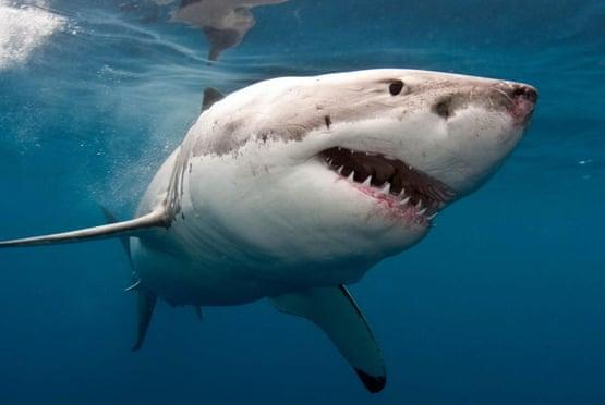 Picture for California surfer's 'measly punch' fends off great white shark attack