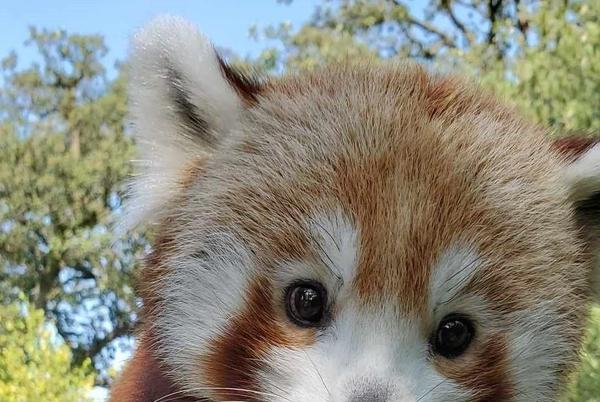 Picture for Omaha zoo welcomes red panda