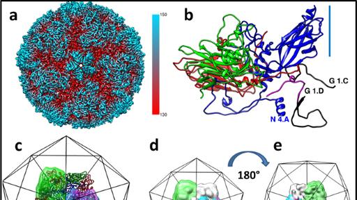 Individual Subunits Of A Rhinovirus Causing Common Cold Exhibit Largely Different Protein Rna Contact Site Conformations News Break