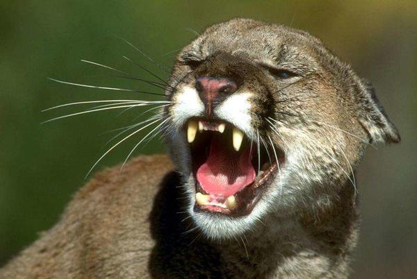 Picture for Southwest Colorado sees increase in mountain lion sightings