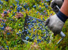 Picture for Maine to celebrate blueberry crop on second weekend in August