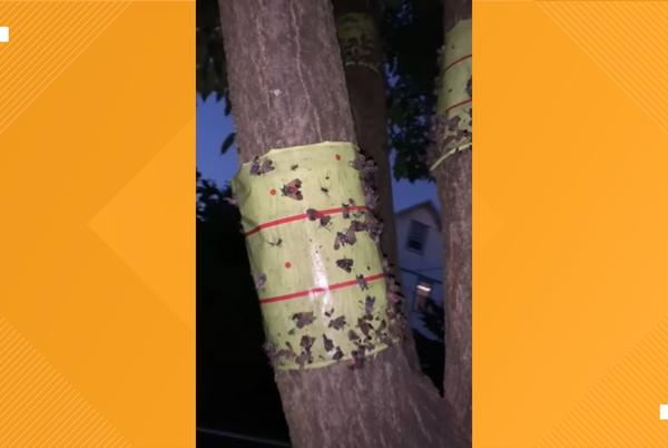 Picture for Watch: Here's how one man killed hundreds of spotted lanternflies in 3 days