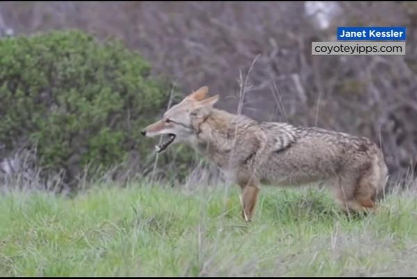 Picture for Wildlife experts explain link between East Bay coyote attacks and CA drought