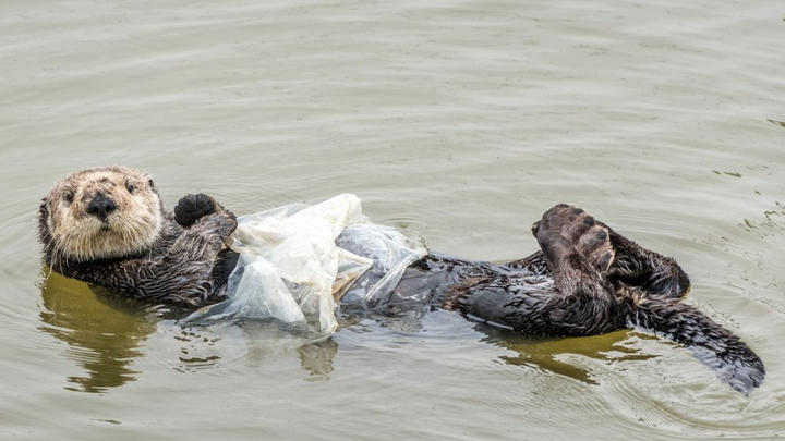"""Cover for No kelp left for a blanket. Otter uses plastic bag for a nap: """"Cute but dangerous"""""""