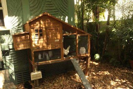Picture for Clearwater takes first step to allow backyard chickens
