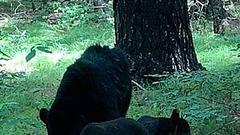 Cover for Black Bear Sighting Season In New York, One Stuck In Chicken Feeder