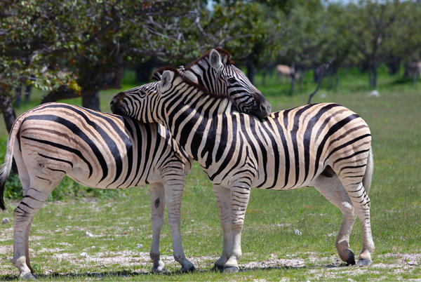 Picture for Missing zebras face more danger than Maryland's winter season
