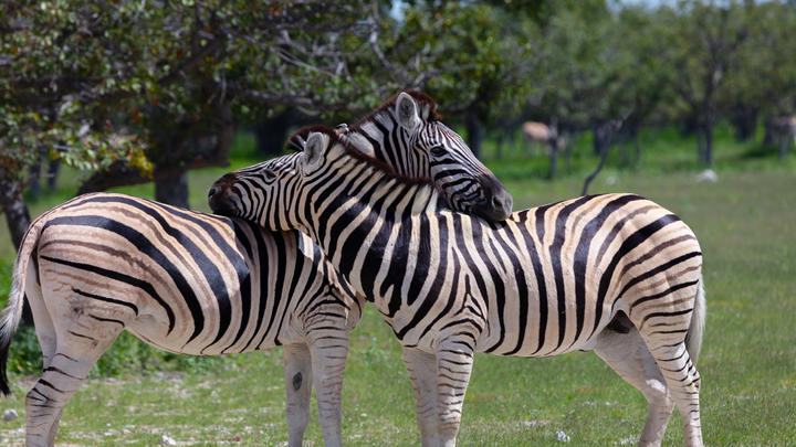 Cover for Missing zebras face more danger than Maryland's winter season