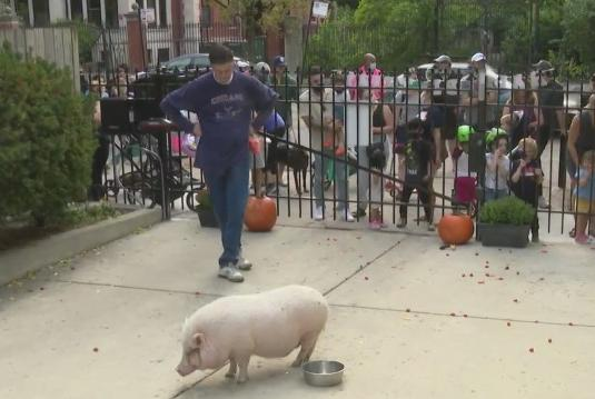 Picture for A big pig party: Rosie turns 9 and her Chicago neighborhood celebrates
