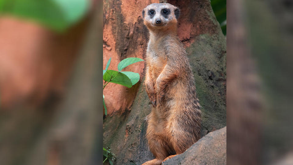 Picture for Meerkat found dead in collapsed tunnel at Florida zoo