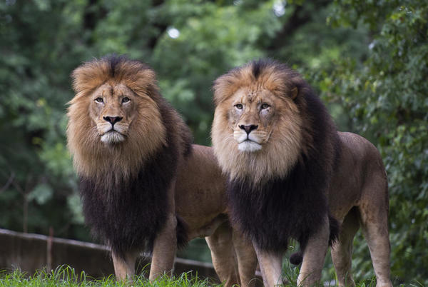 Picture for 9 Lions And Tigers At The National Zoo Are Being Treated For COVID