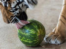 Picture for Lions, Tigers, and Watermelons!