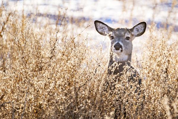 Picture for For the first time, Elk Refuge will see hunting seasons for whitetail deer, pronghorn