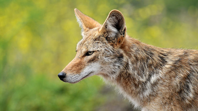 Picture for Coyote sightings are becoming increasingly more common throughout South Florida, even at the beach