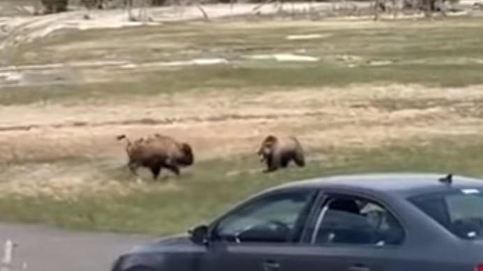 Picture for INTENSE Video Captures Bear vs Bison Showdown at Yellowstone, One Ain't So Lucky