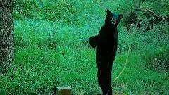 Cover for Missouri Trail Cam Video Shows Bear Walking Around Like Bigfoot