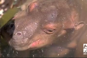 Picture for BioPark announces baby hippo's name